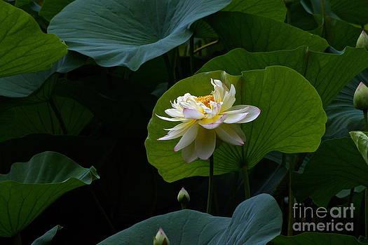 Byron Varvarigos - Lotus Pond Loveliness -- rectangular frame