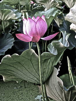 Larry Knipfing - Lotus Royalty - 1