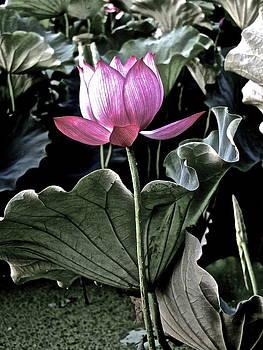 Larry Knipfing - Lotus Royalty