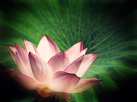 Lotus by Ruediger Helmreich