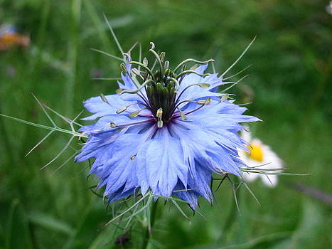 Love in a Mist - Flower by Sandra Martin