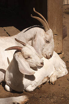 Love - Mama Goat with Kid by Bob and Jan Shriner