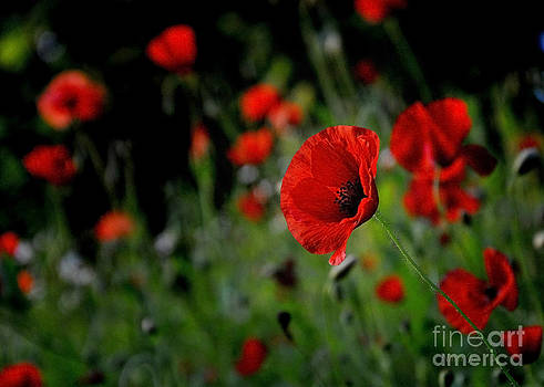 Love Red Poppies by Nava Thompson