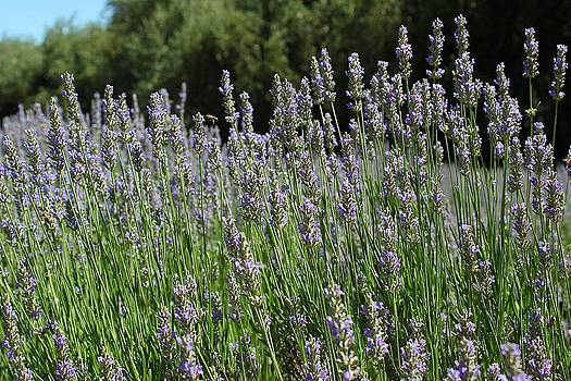Lovely Lavender by Leigh Meredith