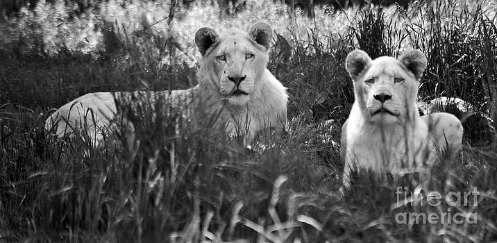 Elaine Mikkelstrup - Lovely Lions
