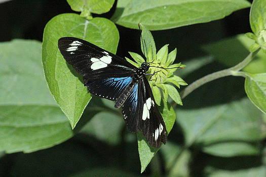 Rosanne Jordan - Lovely Longwing Butterfly