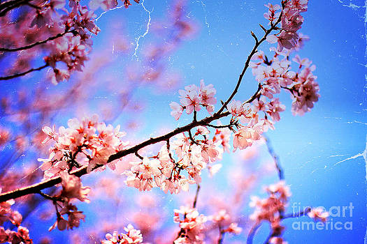 Beverly Claire Kaiya - Lovely Soft Pink Cherry Blossoms and Blue Sky