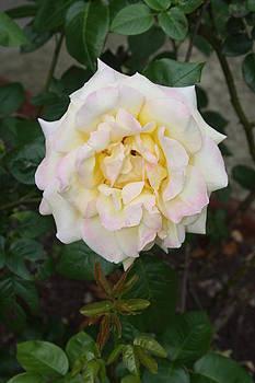 Vadim Levin - Lovely White Rose