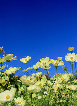Beverly Claire Kaiya - Lovely Yellow Cosmos Clear Blue Sky Flower Field