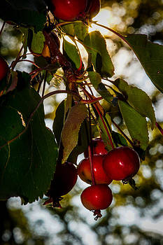 Low Hanging Fruit by Randy  Shellenbarger