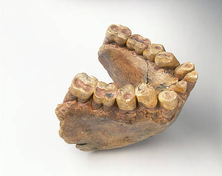 Lower Jaw Of Gigantopithecus by Dorling Kindersley/uig