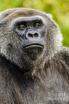 Darren Wilkes - Lowland Gorilla