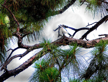 Loxahatchee Scrub Pines With Blue Jays by Judy Paleologos