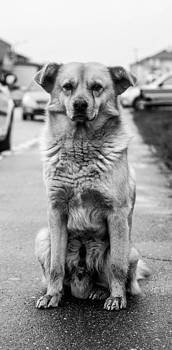 Loyal Dog by Sorin Iana