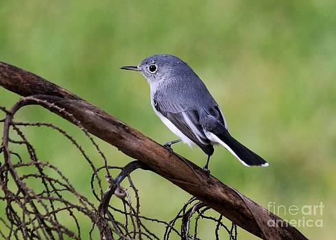 lue-gray Gnatcatcher by Theresa Willingham