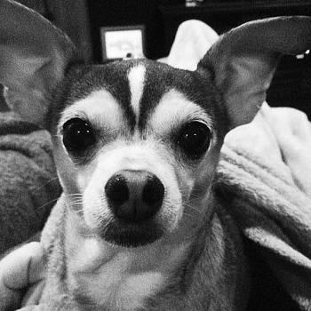 Lulu #dog #chihuahua #piglet #instacool by Craig Kempf