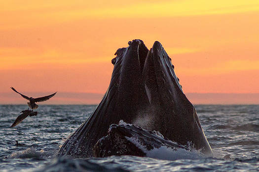 Lunge-Feeding Humpback Whales by Don Baccus