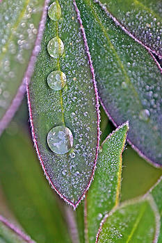 Peggy Collins - Lupin Leaves and Waterdrops