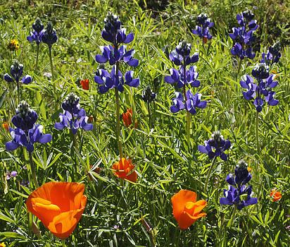 Susan Rovira - Lupines and Poppies