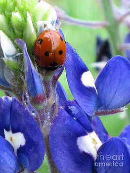 Lupinus texensis and Coccinella septempunctata 1 by Elizabeth Matlock