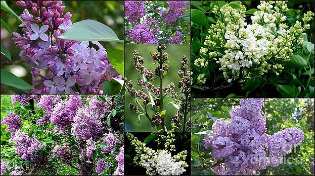 Luscious Lilacs  by Eunice Miller