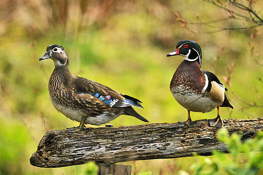 Kenneth Haley - Ma and Pa Wood Duck