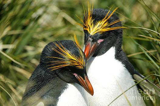 Macaroni penguin love by Rosemary Calvert