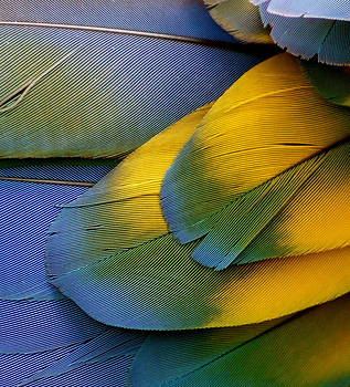 Macaw Blue by Colleen Renshaw