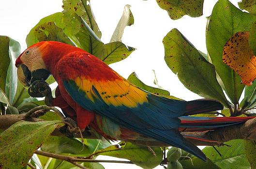 Macaw by Gary Campbell