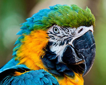 Macaw by Robert Hainer