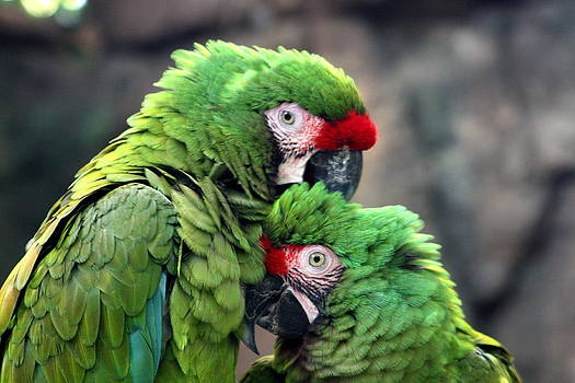 Macaws in Love by Diane Merkle