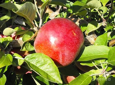 Macintosh Apples by Lisa Gifford