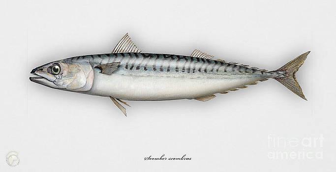 Mackerel Scomber scombrus  - Maquereau - Caballa - Sarda - Scombro - Makrilli - Seafood Art by Urft Valley Art