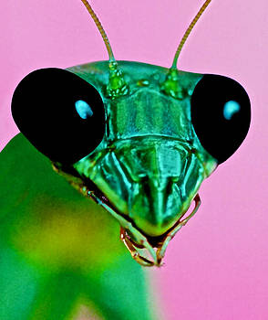 Macro Closeup Of The Praying Mantis by Leslie Crotty
