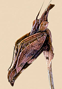 Macro Closeup Of The Violin Mantis by Leslie Crotty