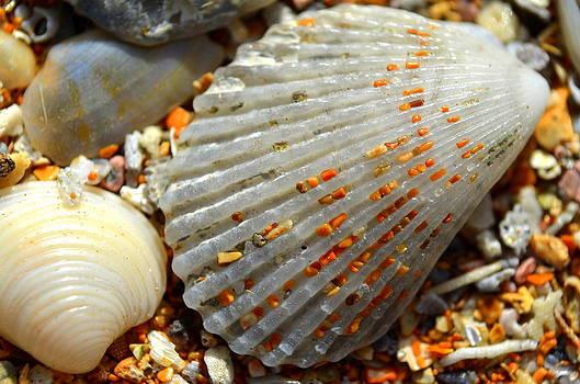 Macro Shell On Sand 4 by Riad Belhimer