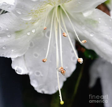 Macro White Azalea by Eva Thomas