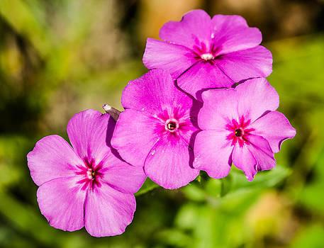 Macro Wild Pink Phlox by Gordon H Rohrbaugh Jr