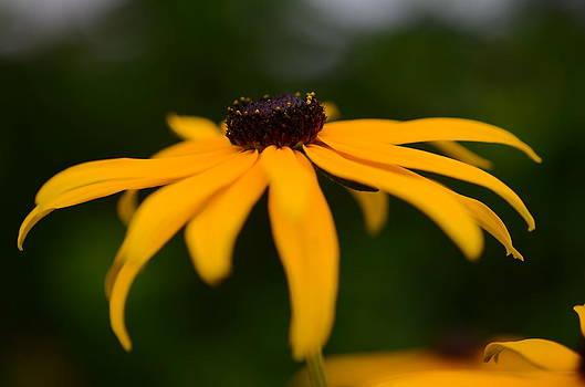 Macro Yellow Daisy by Kathy Paynter