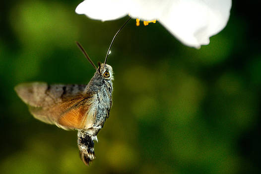 Macroglossum Stellatarum by Zoran Buletic
