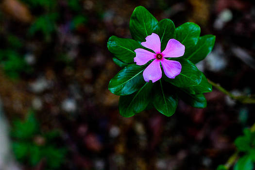 Madagascar Periwinkle Singapore Flower by Donald Chen