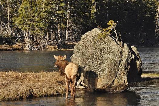 Madison Elk by Brent Easley