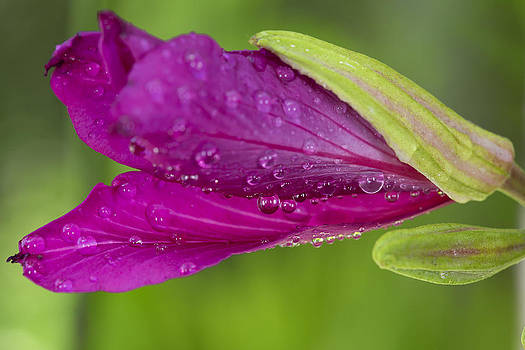 Magenta Wild Orchid After The Rain by Alex Galiano
