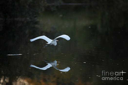 Dale Powell - Magestic White Heron