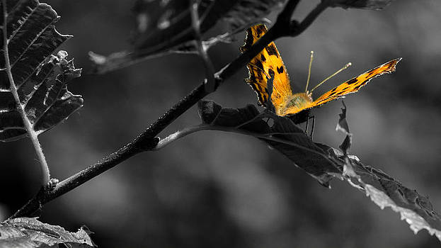 Magic Butterfly  by Timothy Lens Attack