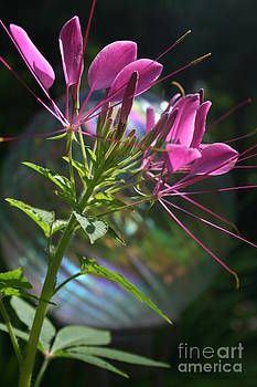 Magical Cleome by Kathy DesJardins