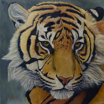 magnifica bellezza - portrait of Sumatra Tiger by Aaron Acker