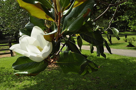 Magnolia #1 by Terry Sita