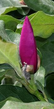 Magnolia 2013 - c by Robert Morin