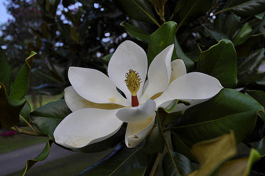 Magnolia 5 by Terry Sita